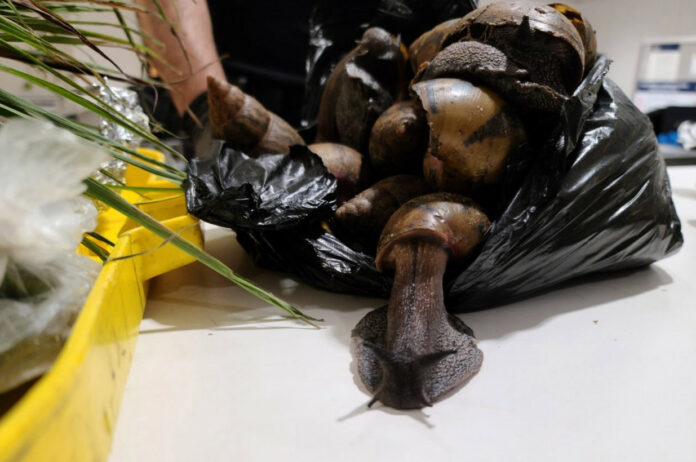 22 Giant African Snails were seized by US Customs and Border agents at JFK Airport.