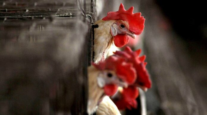 Bird flu poultry